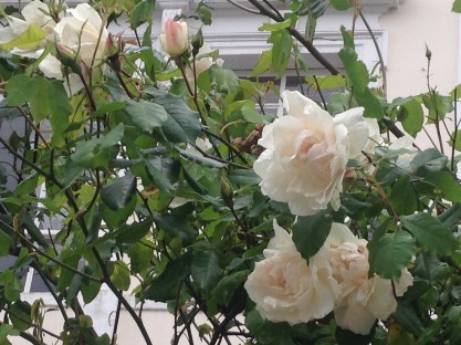 EARLY ROSES IN BLOOM