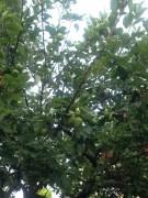 APPLES GROWING IN THE ALBERT GARDEN. CIDER ANYONE?