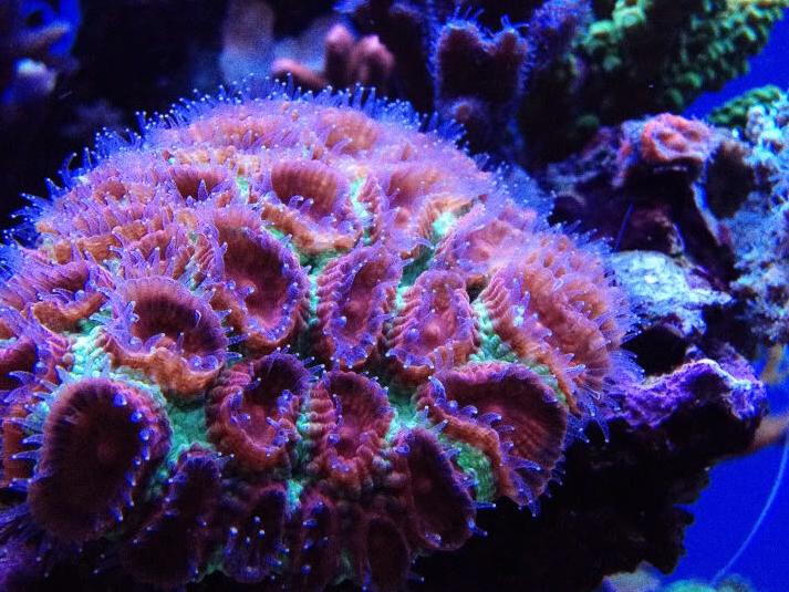 korallen f ttern sps und lps korallenfutter und grundlagen zur pflege von steinkorallen i. Black Bedroom Furniture Sets. Home Design Ideas