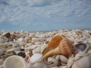 Whelk on a shell pile