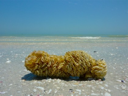 Horse conch shell egg case