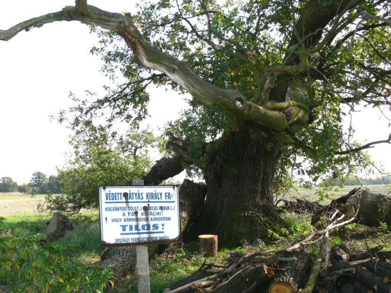 mátyás fája