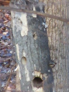 Holes from Pileated Woodpeckers.