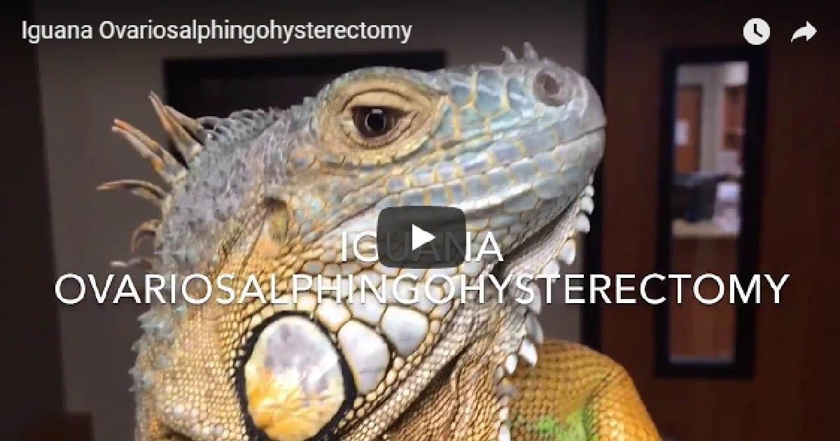 Iguana Ovariosalphingohysterectomy Dr. Evan Antin