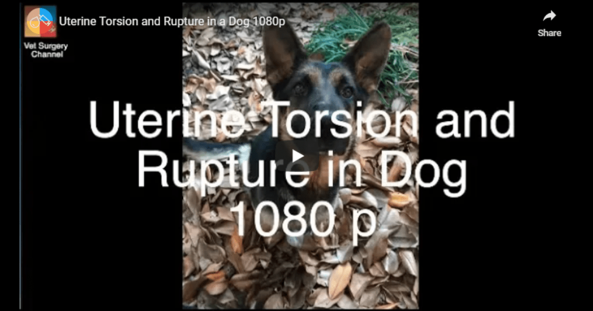 Uterine Torsion and Rupture in a Dog