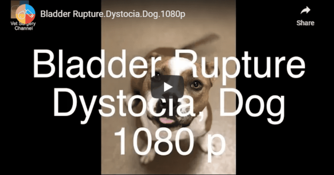 Bladder Rupture and Dystocia