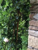 Roses growing at the corner of the Roccolo