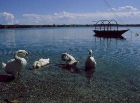 Lago Pusiano Swan