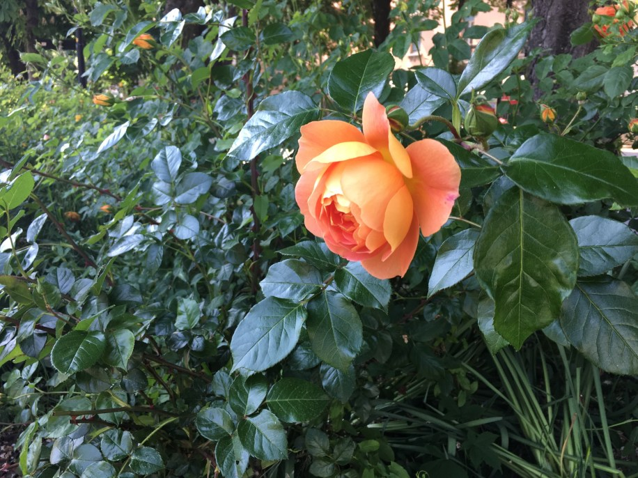 A rose at the villa we passed