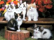 Ouriel_-_Chat_-_0037-Domestic_Cats-5_kittens