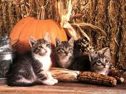 Ouriel_-_Chat_-_0044-Domestic_Cats-kittens_with_pumpkin