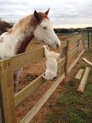 cat_horse_kiss_love6
