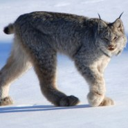 Canadian_lynx_by_Keith_Williams_Flickr_300p