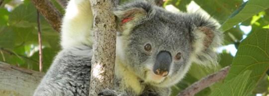 koala_header_credit_friends_of_the_koala