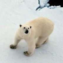 PolarBear_Flickr_Evil_Twin21401
