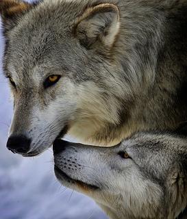 Sister_wolves