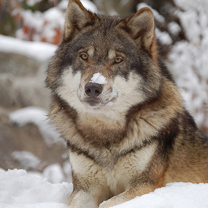 gray_wolf_Flickr_caninest