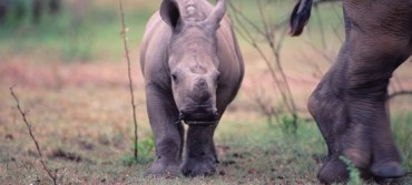 White rhinoceros baby (Ceratotherium simum) with mother, Kenya