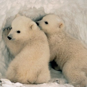 polar bear, Ursus maritimus, USFWS