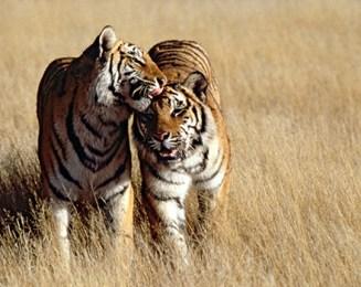 1508-tiger