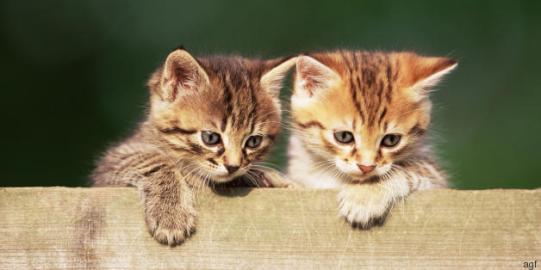 Kittens peering over fence