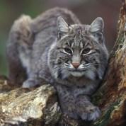 Bobcat_WikimediaCommons_GaryKramer_USFWS