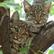 Bobcats_WikimediaCommons_Summer_M_Tribble