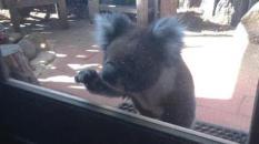 koala-950-kljC-U10601795321132jvC-428x240@LaStampa.it