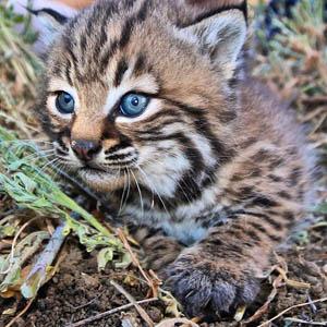 Bobcat_SantaMonicaMountains_NPS