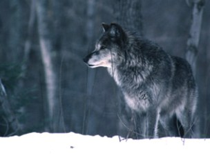 Gray Wolf, Canis lupus, Michigan Department of Natural Resources