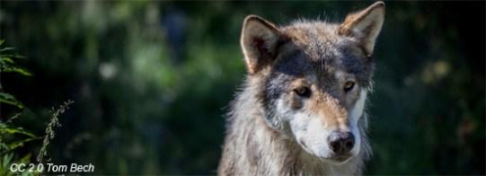 wolf-550