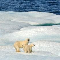 PolarBear_NOAA_CaseyMarwine