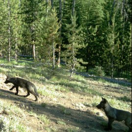 gray_wolf_pups_flickr_ODFW_300