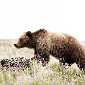 Yellowstone Grizzly 1