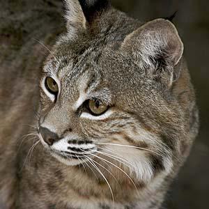 Bobcat_Flickr_KevinH_300