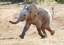 elefante-allegro