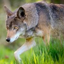 Red_wolf_flick_USFWS_Seth_bynum_300