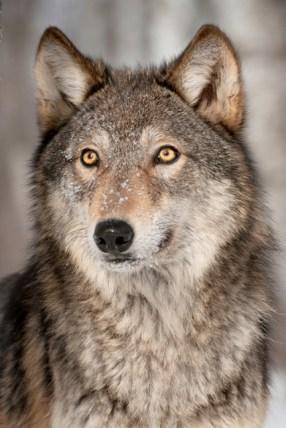 wolf-640