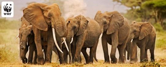 African elephant (Loxodonta africana), herd on the move. Amboseli National Park, Kenya. Distribution Sub-Saharan Africa