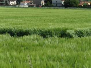 maggio2013 - cerchi nel grano (8)
