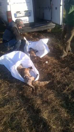 solaro volpi morte (4)
