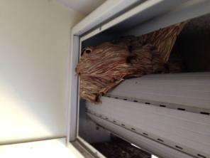 prociv cislago grande nido calabroni
