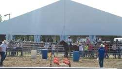 20180422 fiera del bestiame di origgio cavalli (4)