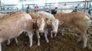 20180425 fiera del bestiame origgio bovini (3)