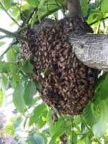 provic gerenzano salvaggio sciame api (4)