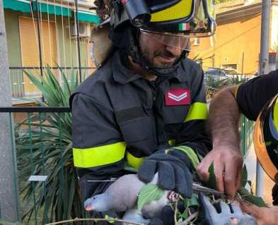 20180711 piccione vigili del fuoco (1)