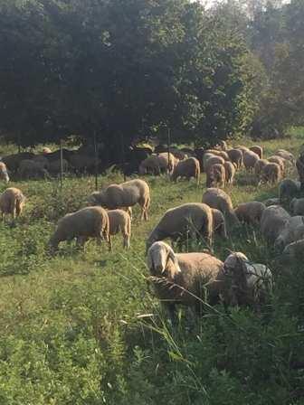 20181014 pecore gregge saronno sud (3)