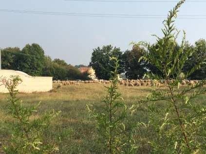 20181014 pecore gregge saronno sud (4)