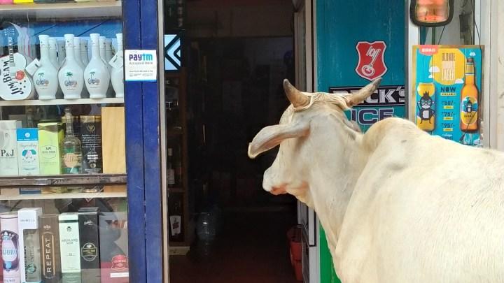 """Une vache à l'entrée d'un """"wine shop"""" d'Anjuna"""