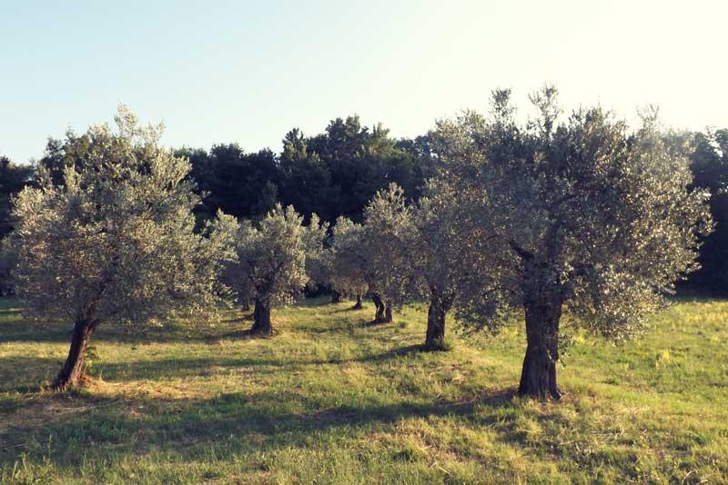 Ulivi per produzione olio di oliva